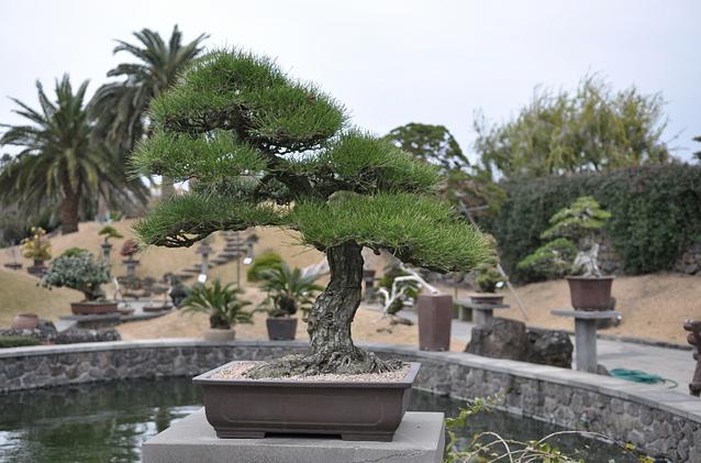 Comprar bonsai for Comprare bonsai online