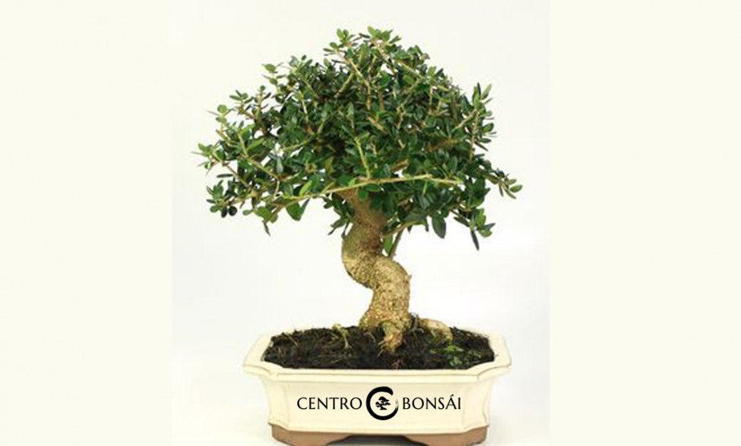 Olivo bonsai tienda online de olivo bonsai - Como cultivar bonsais ...